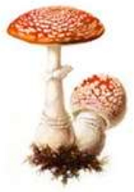 Amanita mushroom forms mycorhizal relations with plant roots