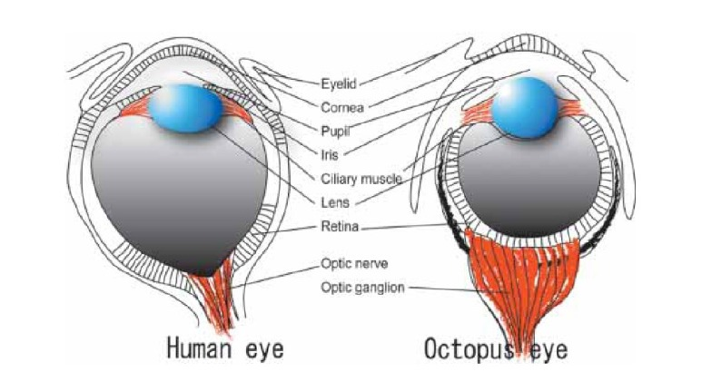 Human vs. Octopus Eye
