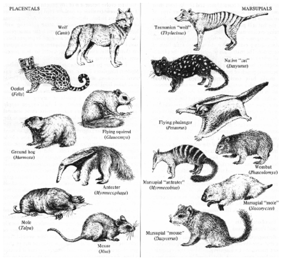 Marsupial and Placental Mammals